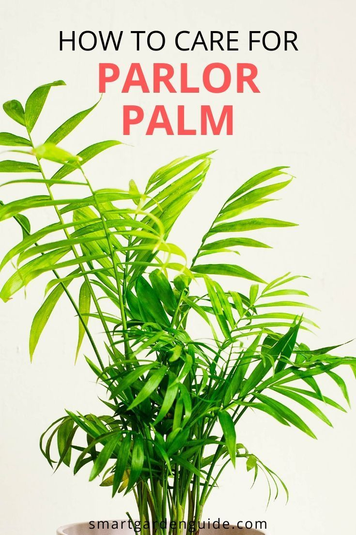 How to care for a parlor palm chamaedorea elegans palm