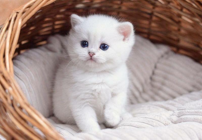 Chinchilla British Short Hair Bred In Russia Ragdoll Kitten