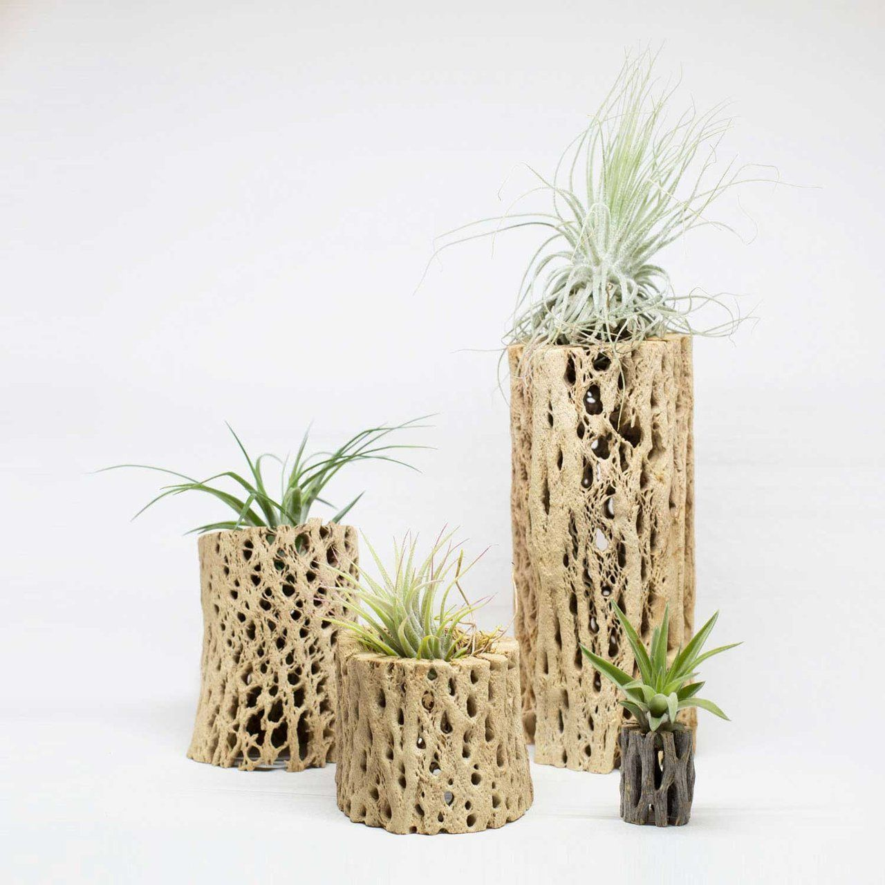 Air Plants Mounted on Large Cholla Cactus