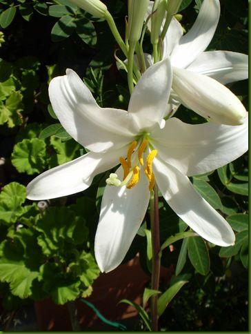 Lirios Y Azucenas Lilium Flores Blancas Azucena Flores