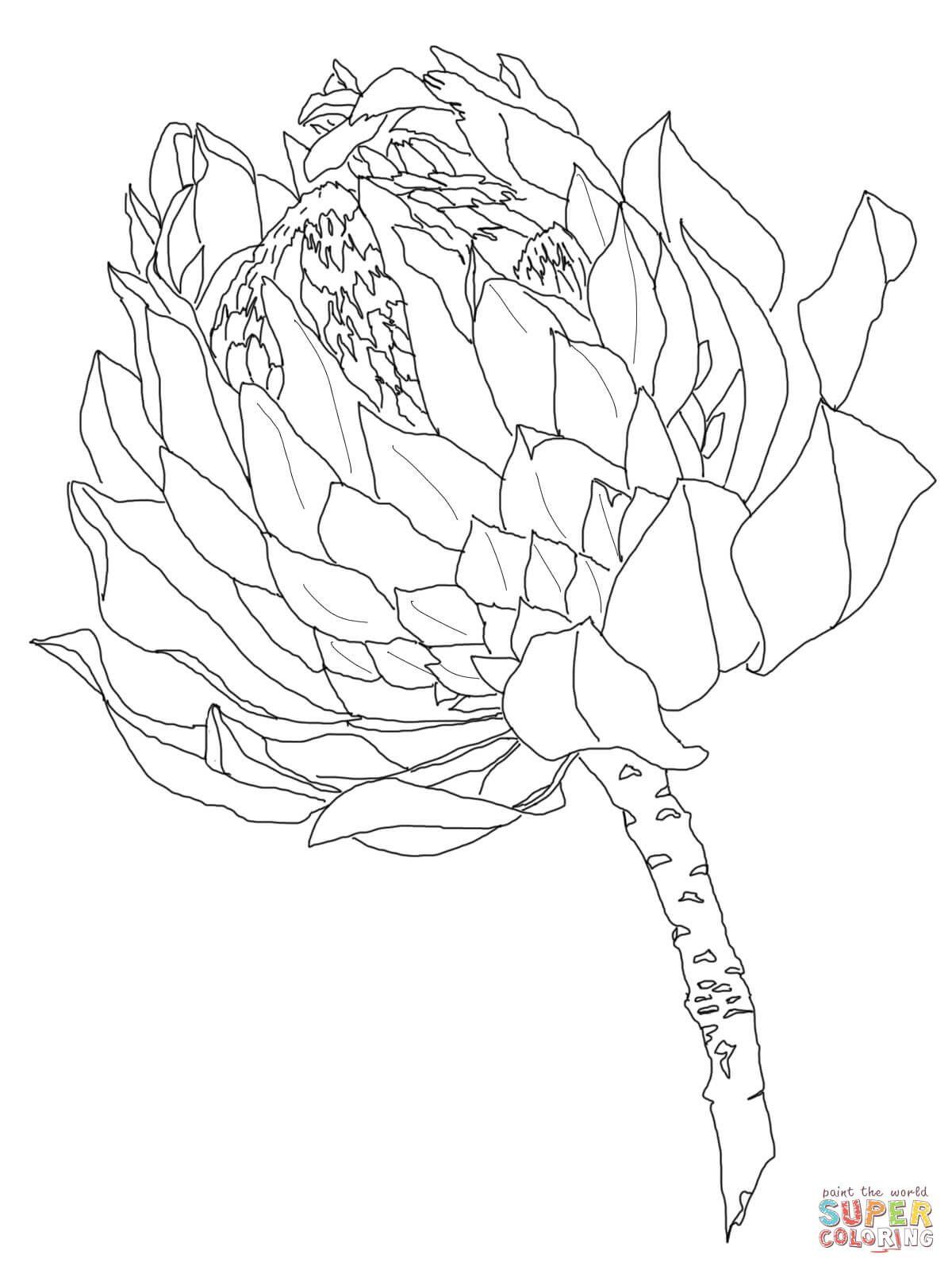 Protea Dibujo para colorear. Categorías: Protea. Páginas para ...