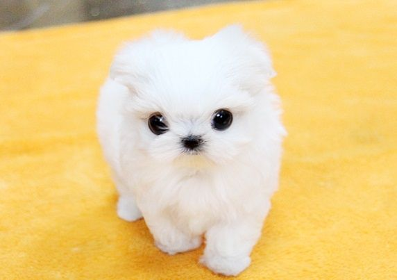 Puppies For Sale Cute Little Dogs Puppies Little Dogs