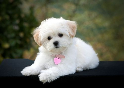 Cute Small White Dog Breeds With Love Puppies Dogs Puppies