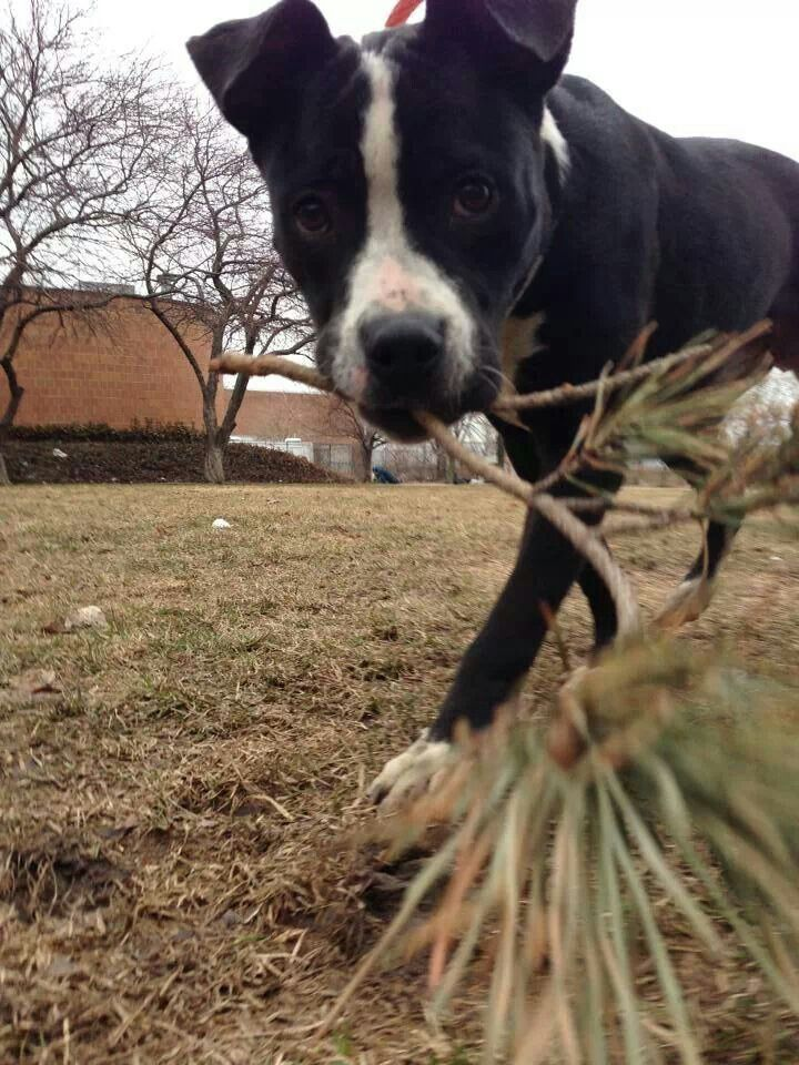 """""""Bo Knows"""" he wants to be #adopted at CACC Adoptable pets on Facebook. #Chicago"""