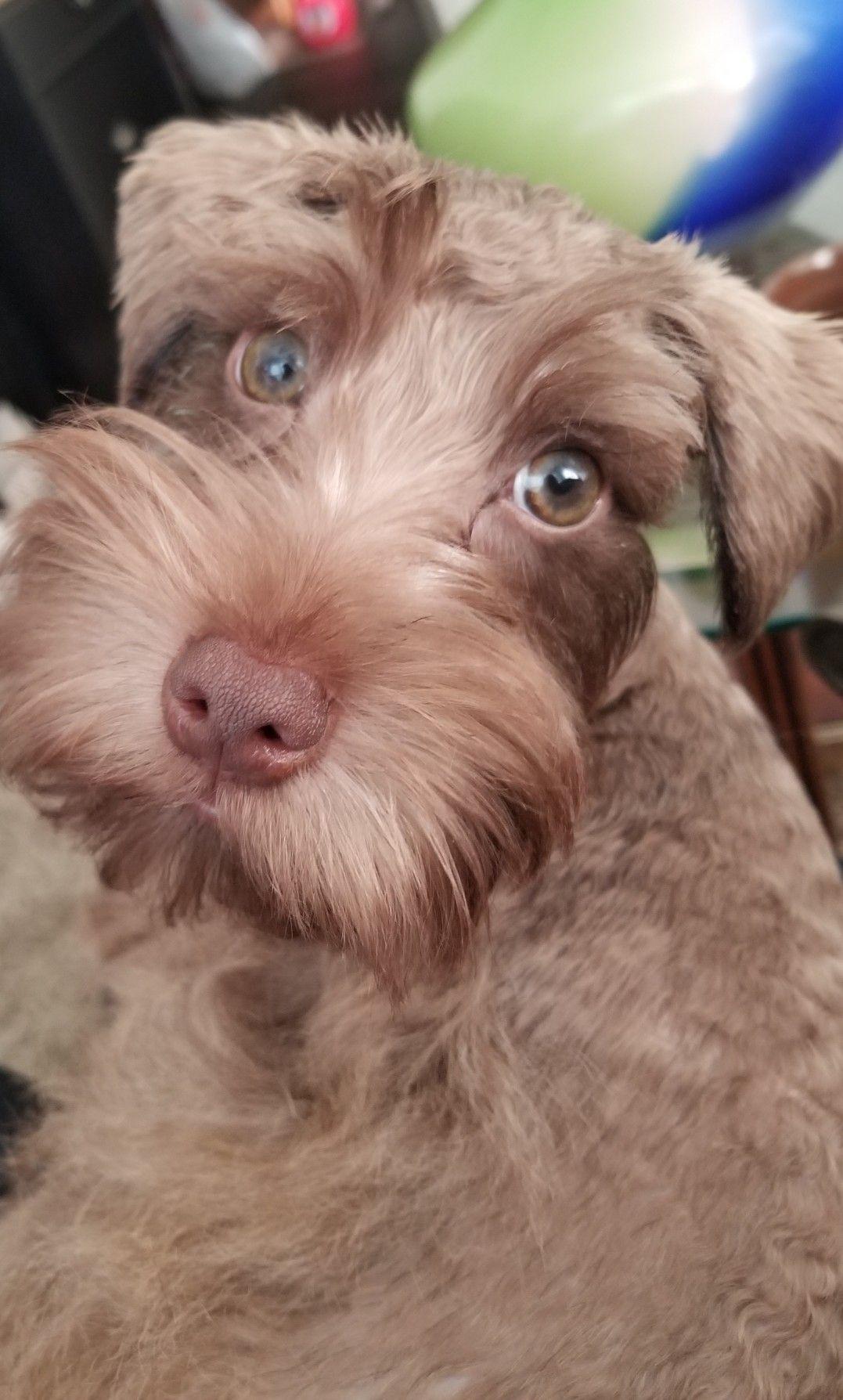 Wesley Coco A Schnauzer Schnauzer Puppy Miniature Schnauzer Puppies Miniature Schnauzer
