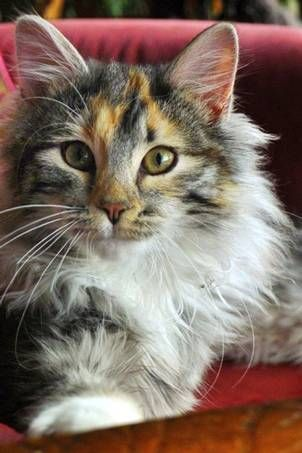 Pet Sitter Needed For Two Norwegian Forest Cats House Sitter Needed Pleasant Beach Western Island Near Norwegian Forest Cat Pet Sitters Cat Sitter