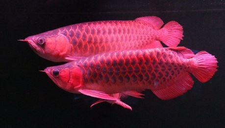 Smart Safe 100 Foto Ikan Hias Terbaik Ikan Arwana 3 Di 2020 Ikan Hiasan Air Tawar
