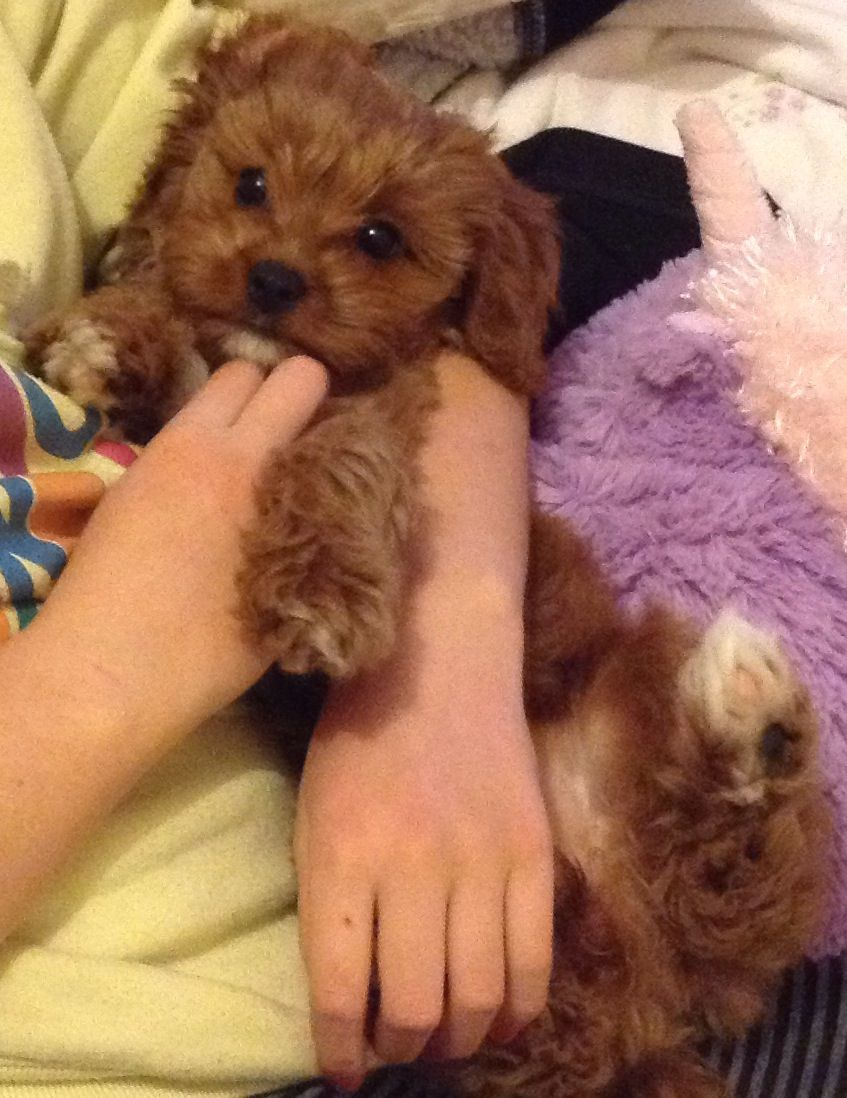 Cookie The Toy Cavoodle Puppies Cavoodle Cavapoo Puppies Doodle Dog Puppies