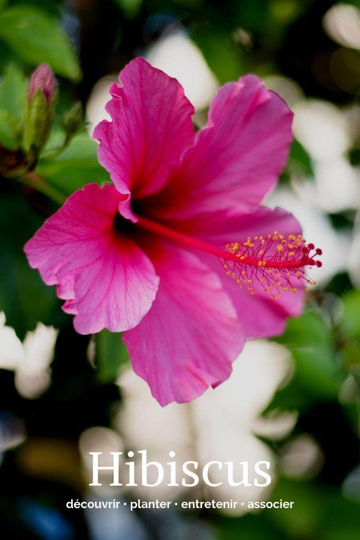 Hibiscus, Althéa : planter, cultiver et entretenir ...