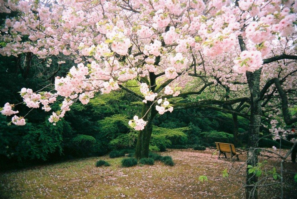 gambar bunga sakura di taman beautiful sights bunga sakura bunga rh pinterest com