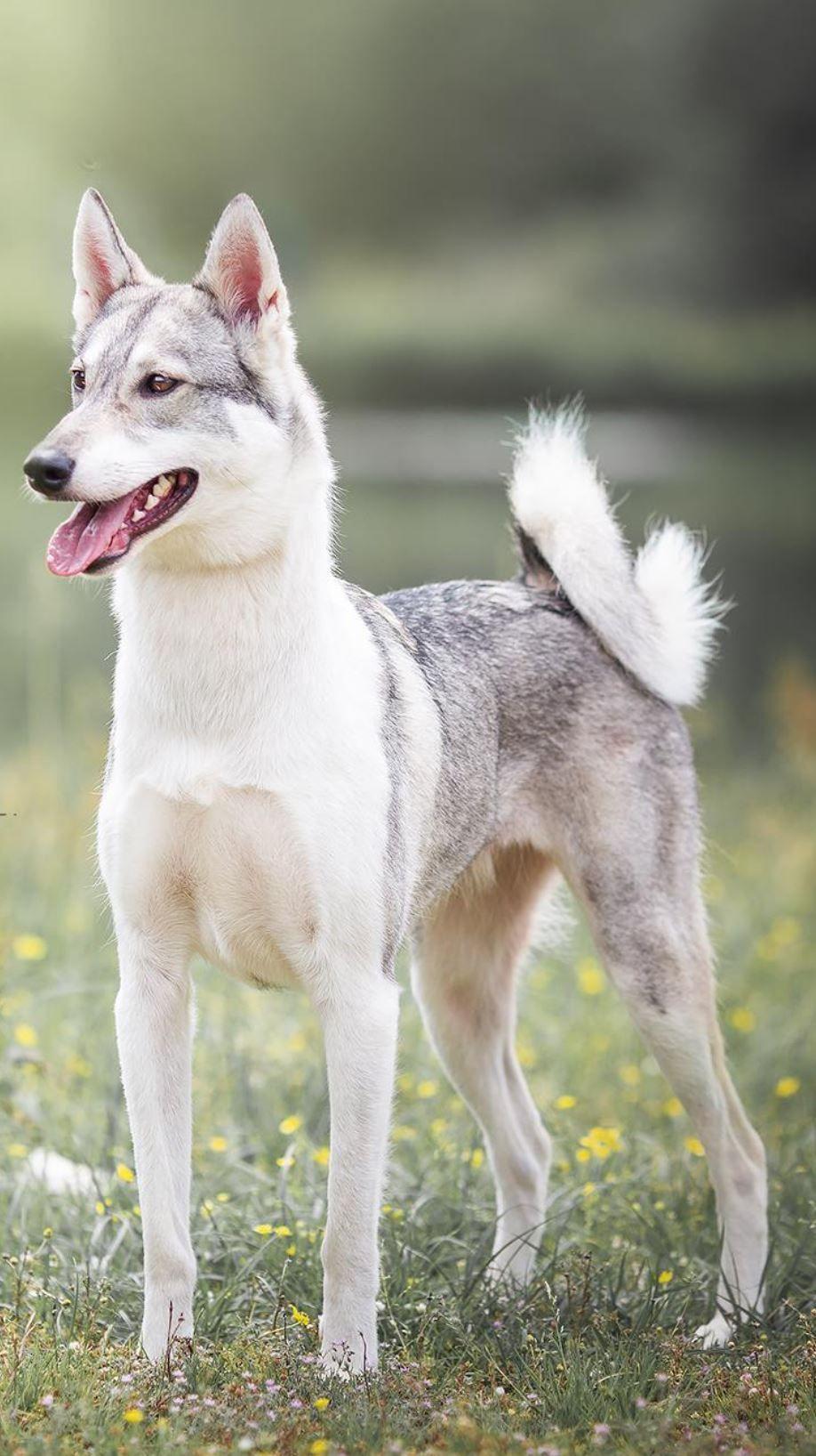 Western Siberian Laika Dog Photography Dog Breeds Spitz Dogs Dog Photography