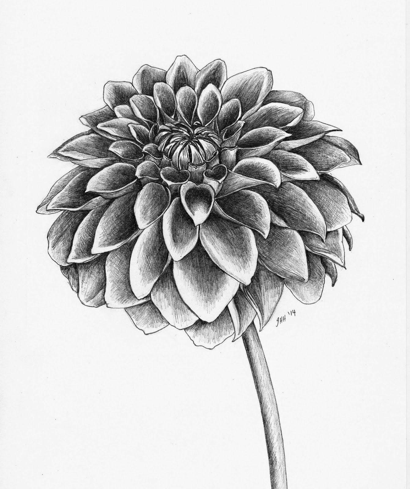 Dahlia plant drawing
