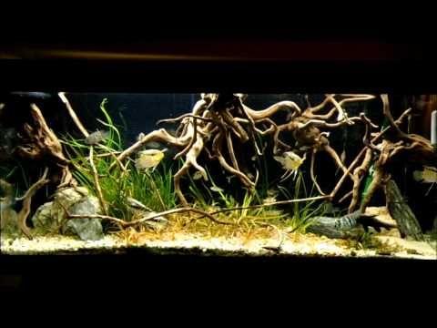 Nice looking orinoco biotope setup tropical fish for Amazon aquarium fish