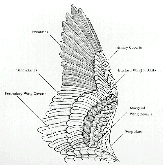 Birds Of A Feather: Update Wing Anatomy and Joints | Paper Birds ...