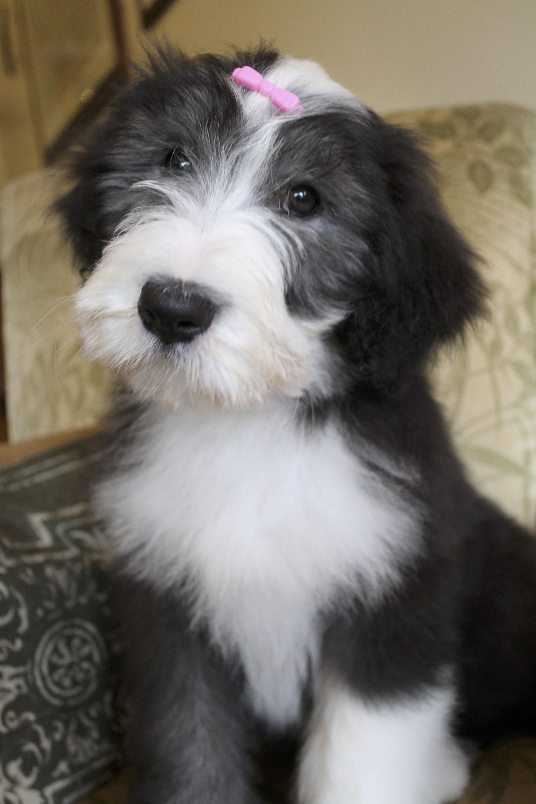 Leela Lulas Daughter At 11 Weeks With Images Bearded Collie