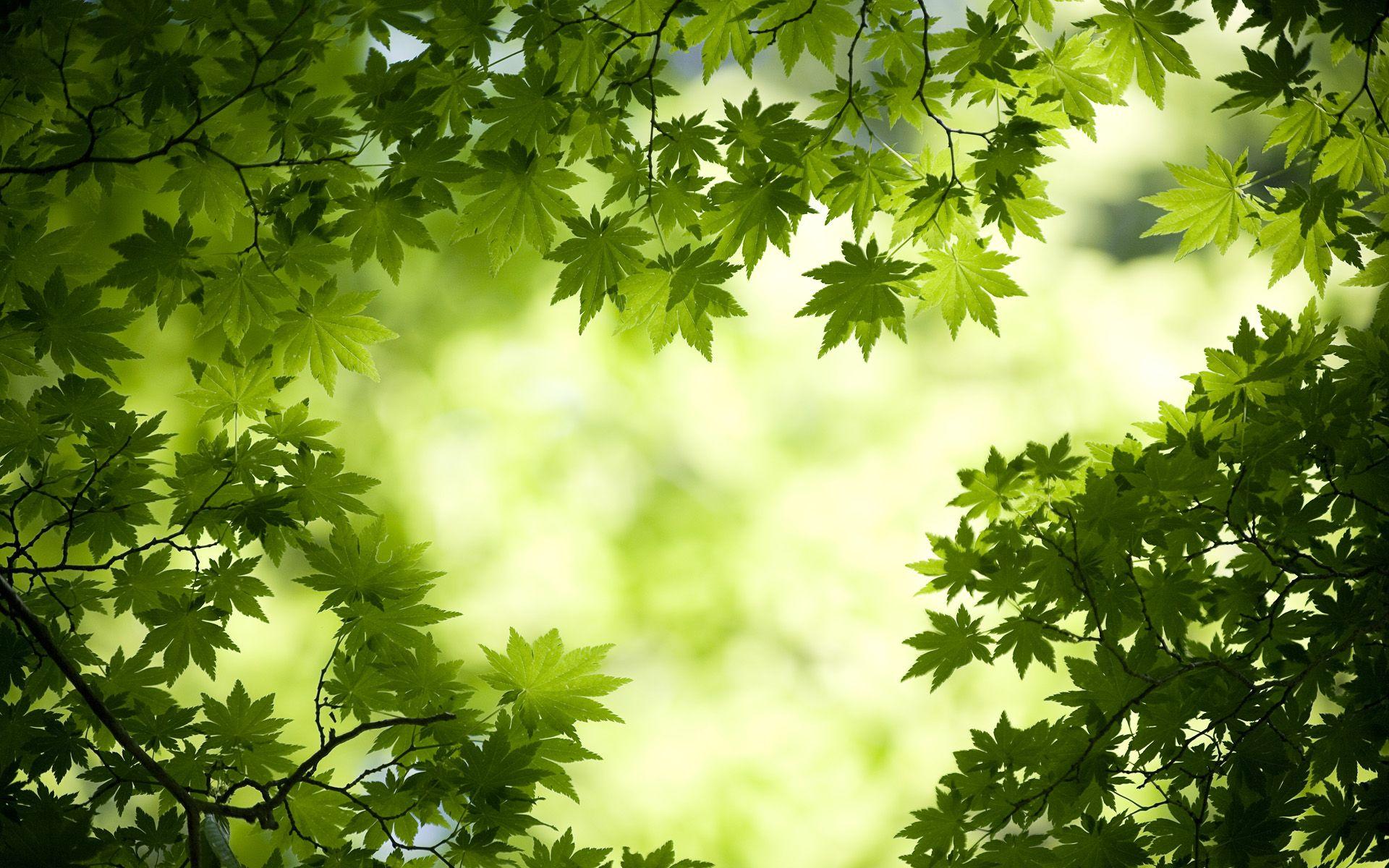 Http Www Hdwallpapers In Walls Green Maple Leaves Wide Jpg