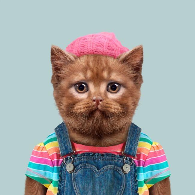 British Shorthair Cat - Felis Silvestris Catus
