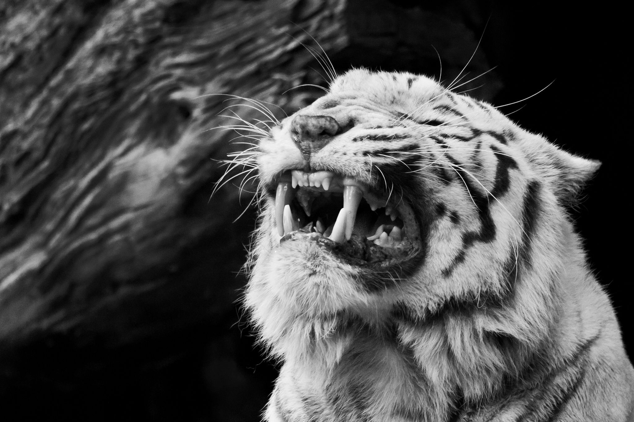 White tiger roaring - Background Wallpapers for your Desktop and ...
