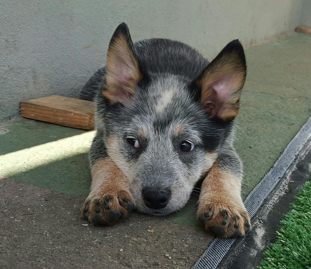 Sentinela Farrapo Filhotes De Australian Cattle Dog Disponiveis
