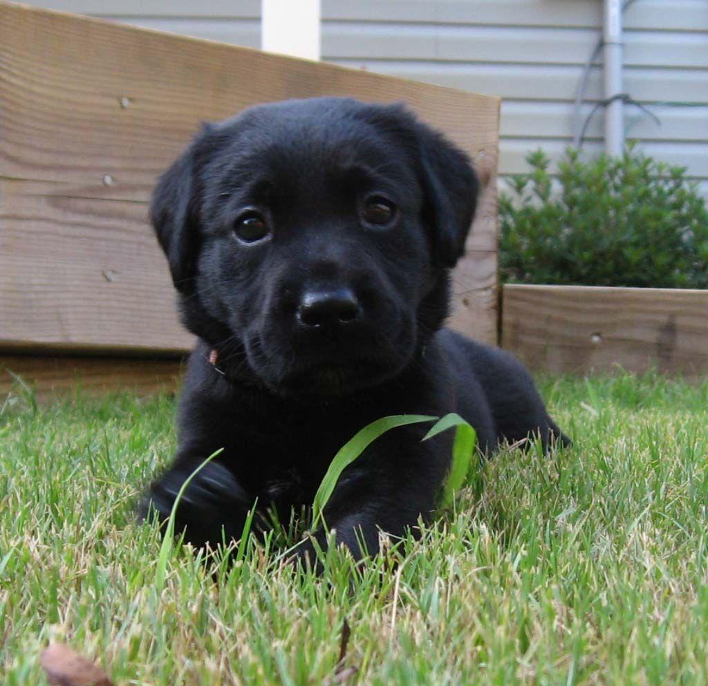 4 Week Old Black Lab Layla 3 Black Lab Labrador Retriever