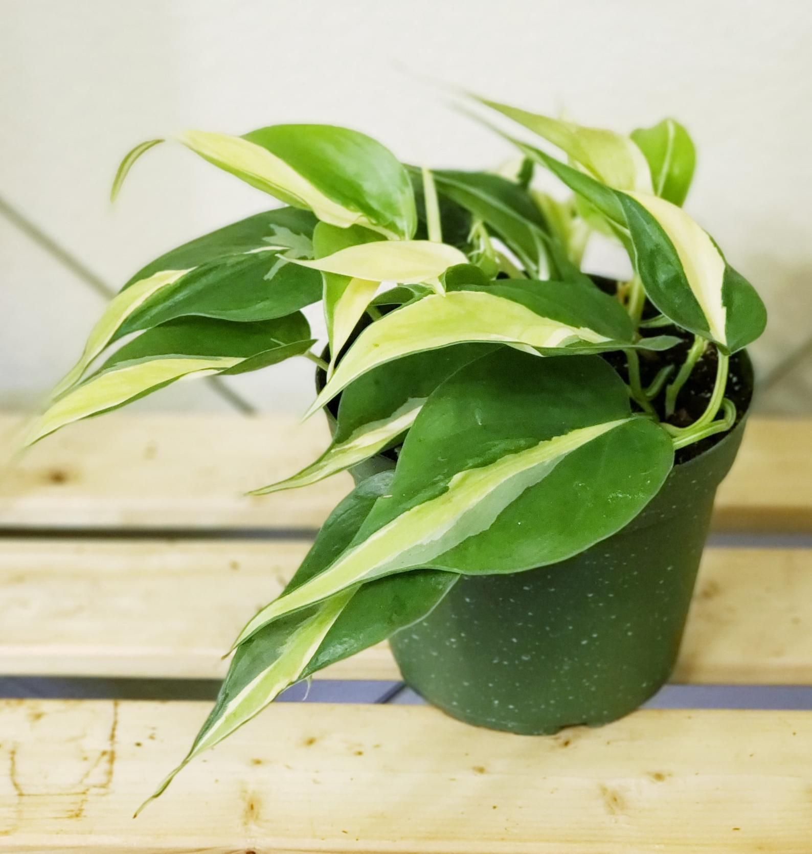how to care for philodendron brasil