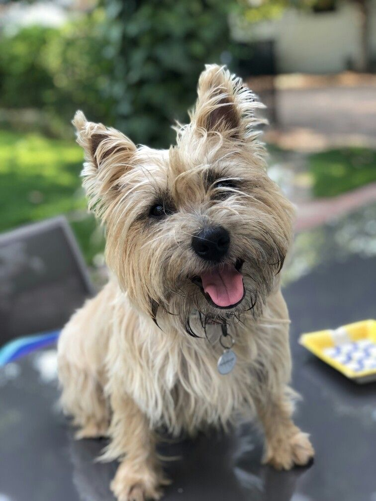 Indi My Smiling Female Cairn With Images Cairn Terrier Big