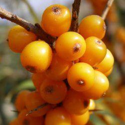 ENDRINO AMARILLO fruta muy rica VITAMINA C 20 semillas