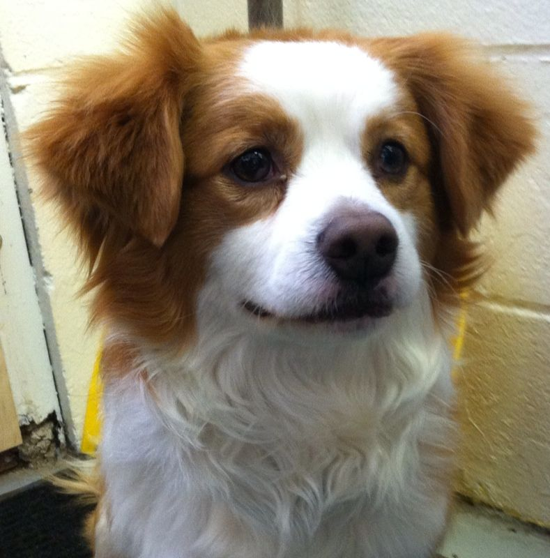 Adopt Rusty Id D14 13 Adopted On Petfinder Papillon Mix King Charles Spaniel Spaniel Dog