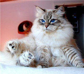 Pin Von Bobby Schaefer Schaef Designs Auf Ragdoll Kitties Mit Bildern Sibirische Katze Katzen Neva Masquarade