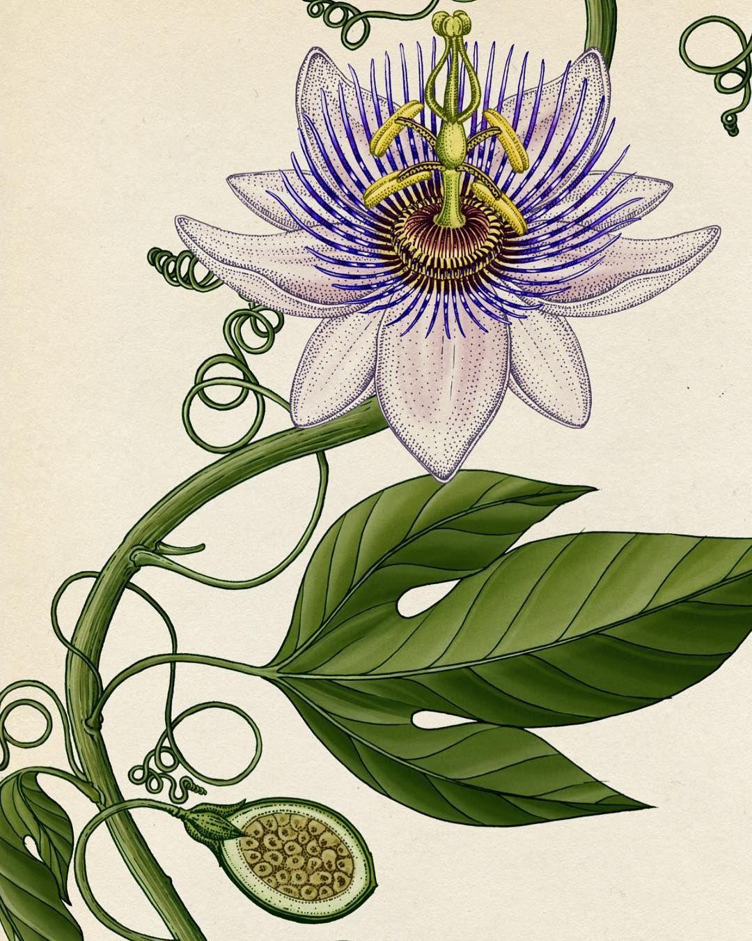 Katie Scott On Instagram Passiflora Plant Illustration Katie Scott Flower Vine Tattoos