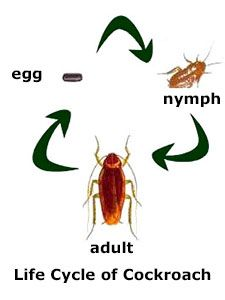 Water Bug vs Cockroach: Identification, Difference and ...