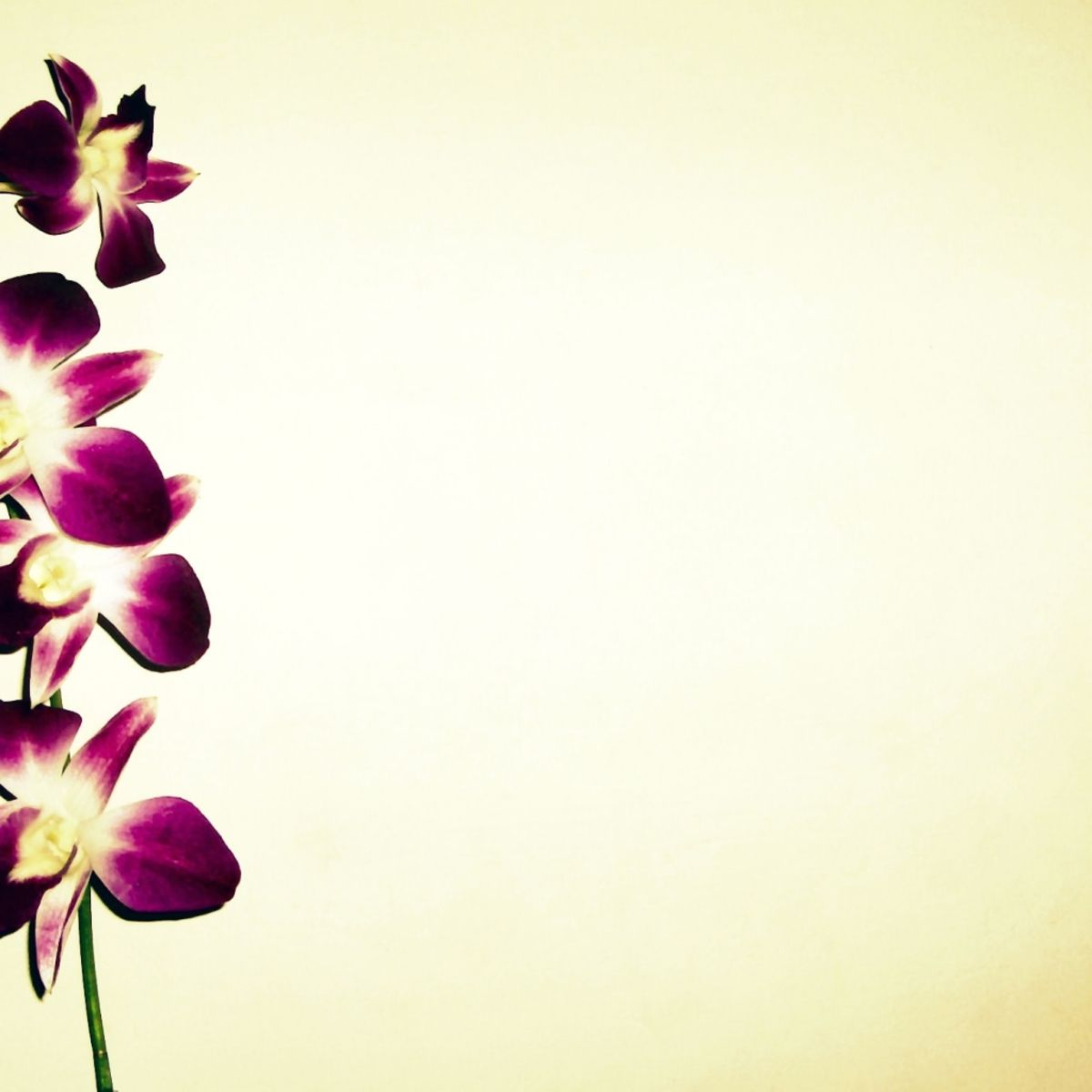 1600x1200-orchid-background.jpg (1200×1200)