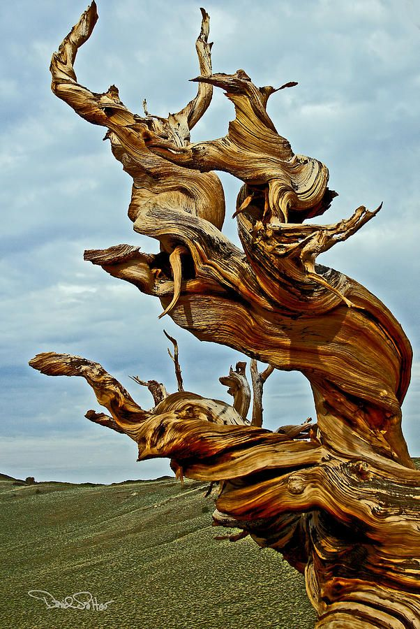 Bristlecone Pine by David Salter Bristlecone pine, Weird