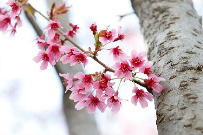 Okames Are Among The Earliest Blooming Cherry Trees With Single Deep Pink Blossoms Pink Blossom Types Of Cherries Bloom