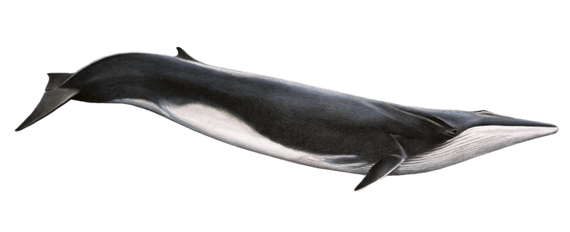 Fin Whale Png By Lg Design On Deviantart Fin Whale Whale Drawing Whale Illustration