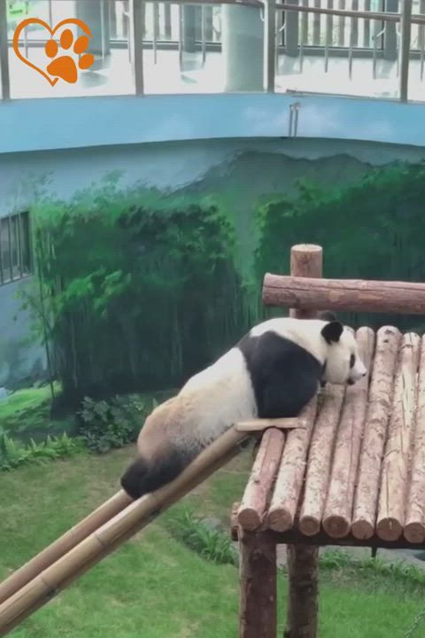 The panda is smart and funny.😀😁😂 #panda #pandas #a