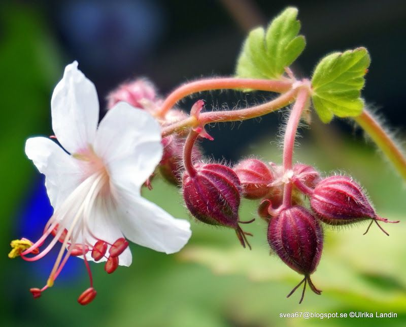 White #Flower Photo by Ulrika is featured for #FlowerFriday!
