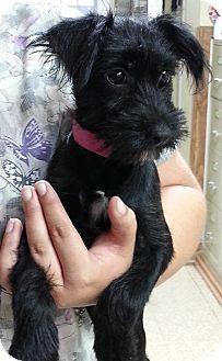 Hammonton Nj Schnauzer Miniature Terrier Unknown Type Small Mix Meet Abby A Puppy For Adoption Http Www Adoptapet Com Pet 11170598 Hammonton New Je Con Imagenes