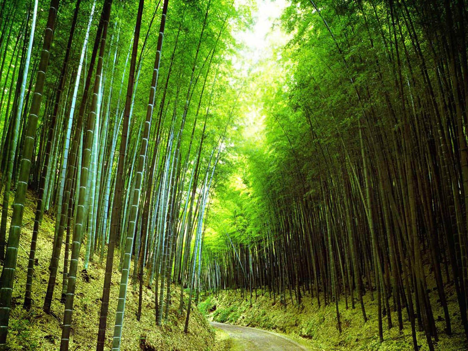 Wallpapers Bamboo Forest Wallpapers Bamboo Forest Forest Wallpaper Tree Forest