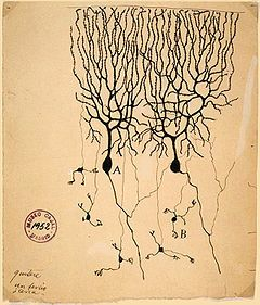Nerve Cell - Drawing by Santiago Ramón y Cajal of neurons in the pigeon cerebellum. (A) Denotes Purkinje cells, an example of a multipolar neuron. (B) Denotes granule cells, which are also multipolar.