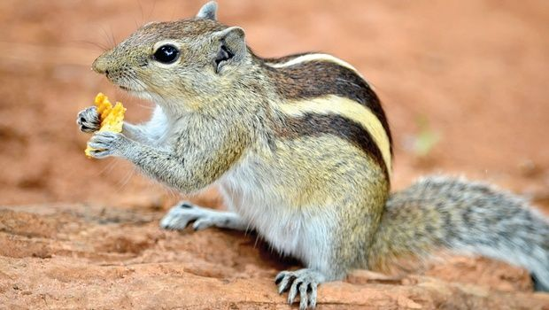 indian palm squirrel - Google Search | Indian Palm ...