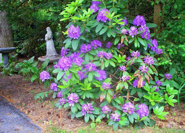 GG Gardens Garden pics June 2011 - 103318313015077058625 - Picasa Web Albums