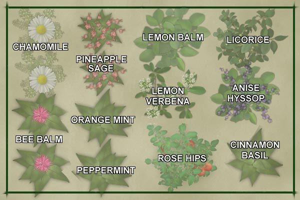 Tea Herb Garden Plan Template Pineapple Sage Garden Planning Bee Balm