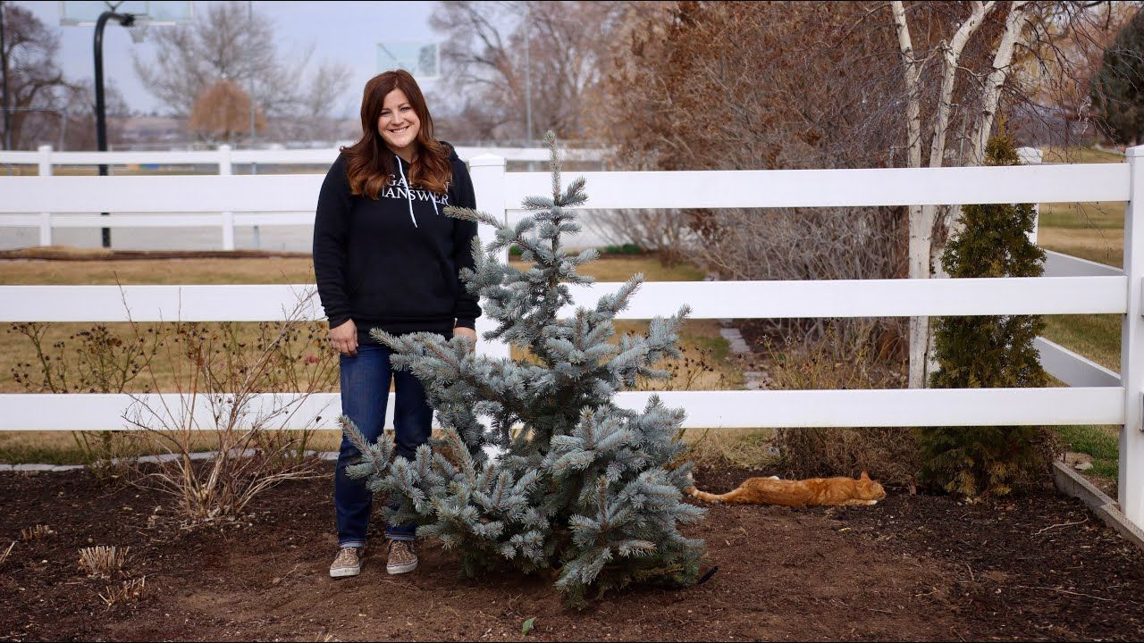 Planting a Hoop's Blue Spruce! 🌲💙// Garden Answer