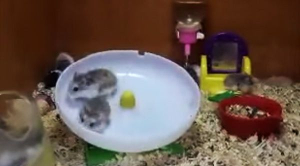 You Won T Stop Laughing At These Daredevil Hamsters Going Top