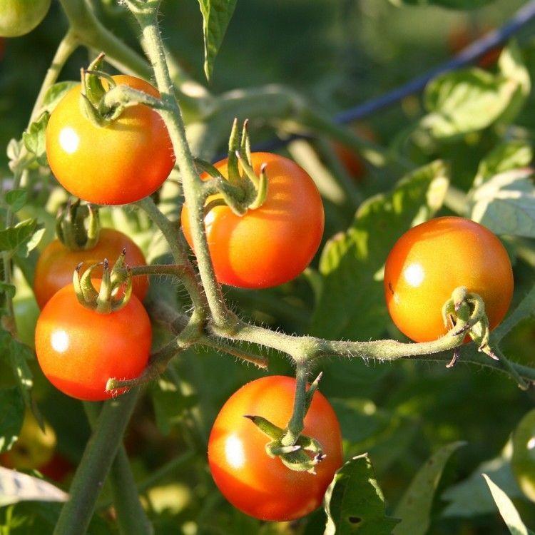 Comment planter des tomates : fiches pratiques et conseils de pro   Comment planter des tomates ...