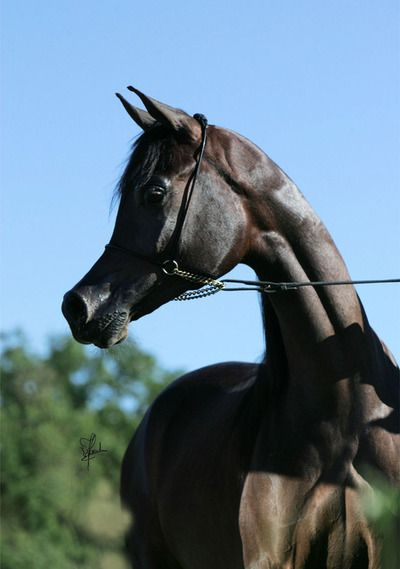 Fai Al Shaqab Marwan Al Shaqab X Victoria Ii Beautiful Arabian Horses Horses Beautiful Horses