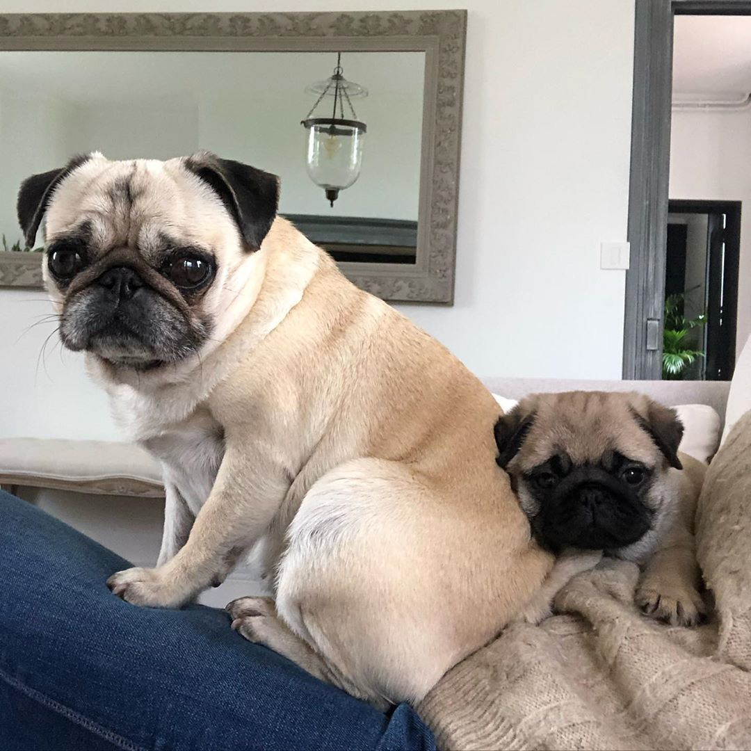 Pin By Espi O On Pugs In 2020 Cute Pug Puppies