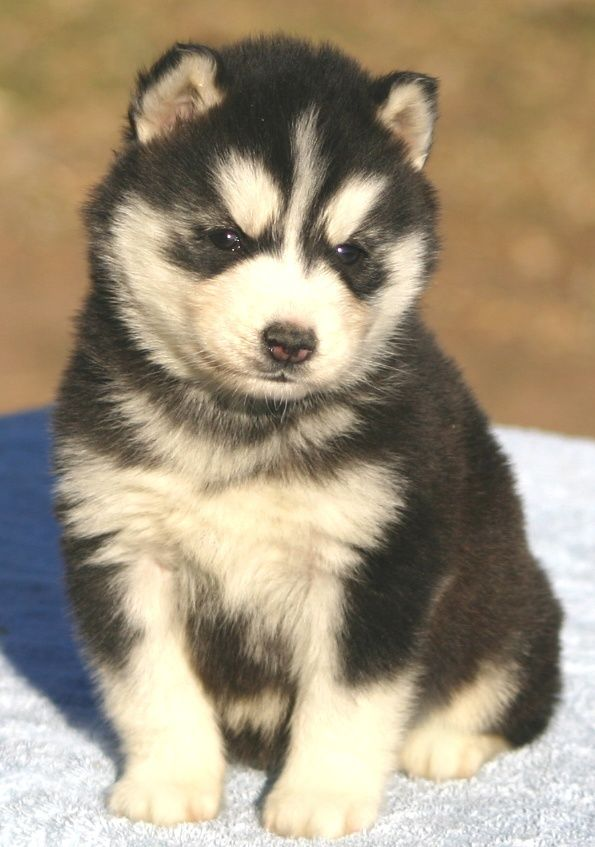 2 Huskies Husky Puppy Siberian Husky Funny Animal Pictures