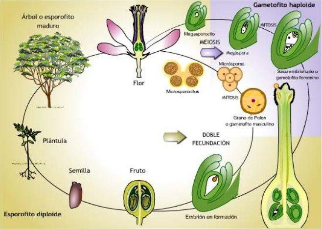 Reproduccion De Las Plantas Buscar Con Google Plants Biology Nature